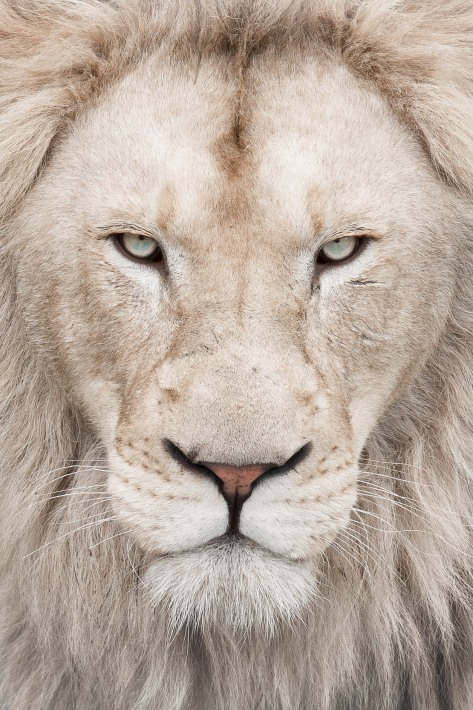 White Lion in Switzerland